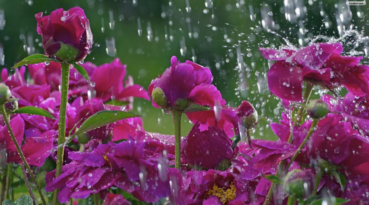 flowers_in_the_rain_wallpaper